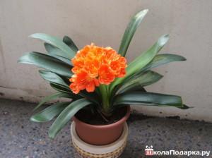 комнатное растение в подарок